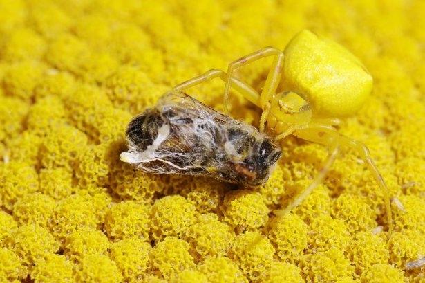 Katil sarı yengeç örümceği 12