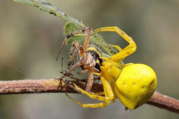 Katil sarı yengeç örümceği 13