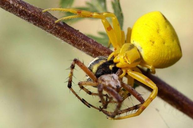 Katil sarı yengeç örümceği 14