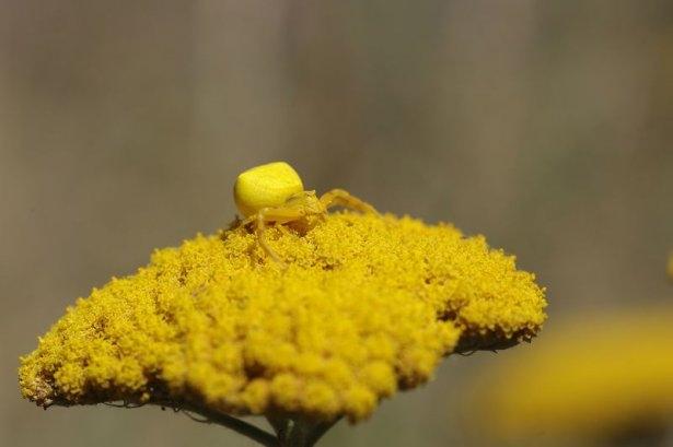 Katil sarı yengeç örümceği 15