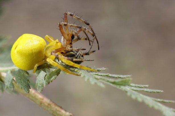 Katil sarı yengeç örümceği 2