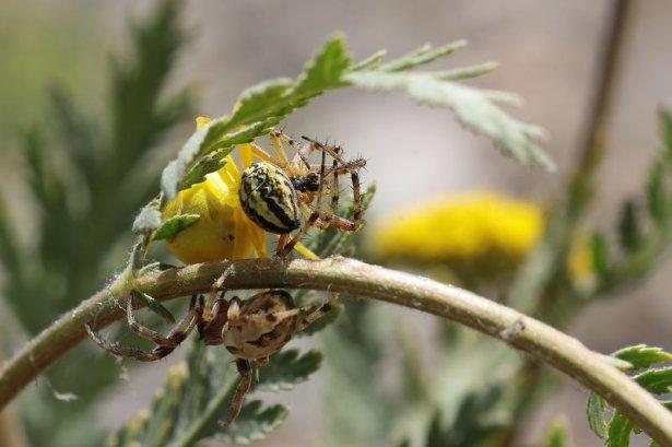 Katil sarı yengeç örümceği 4