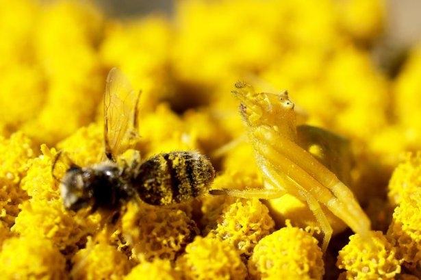 Katil sarı yengeç örümceği 5