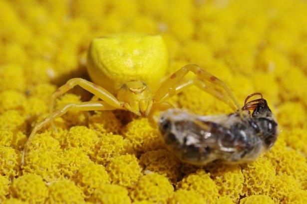 Katil sarı yengeç örümceği 6