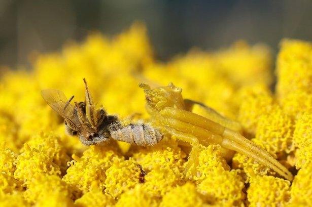 Katil sarı yengeç örümceği 7