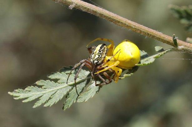Katil sarı yengeç örümceği 9