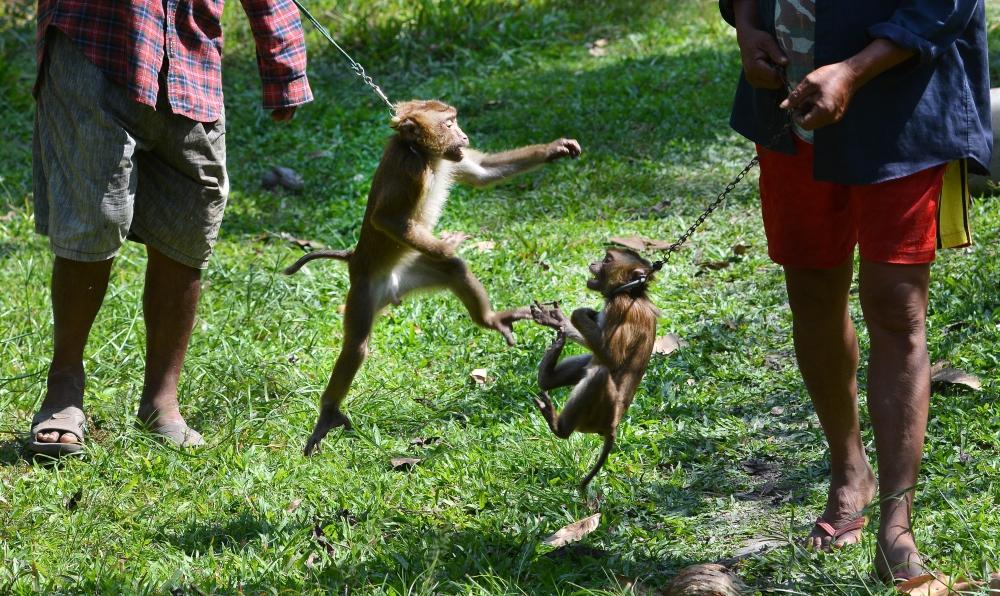 Tayland'ın köle işçi maymunları 1