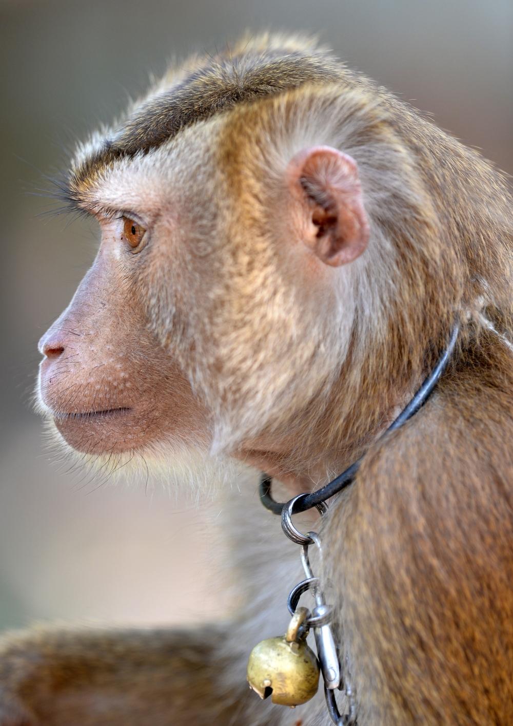 Tayland'ın köle işçi maymunları 10