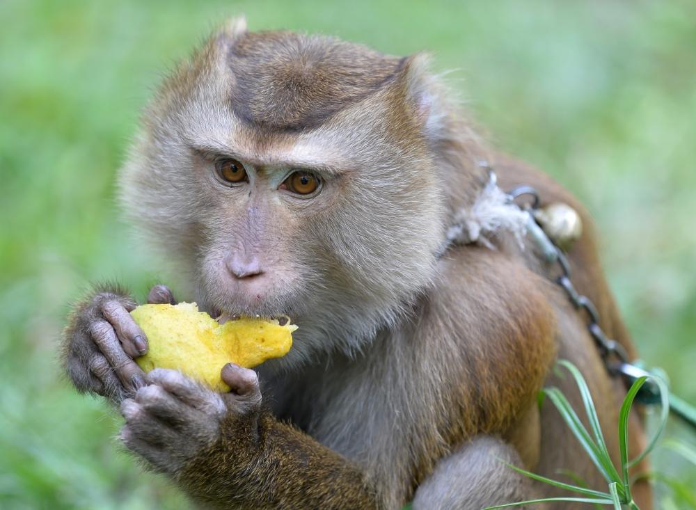 Tayland'ın köle işçi maymunları 11