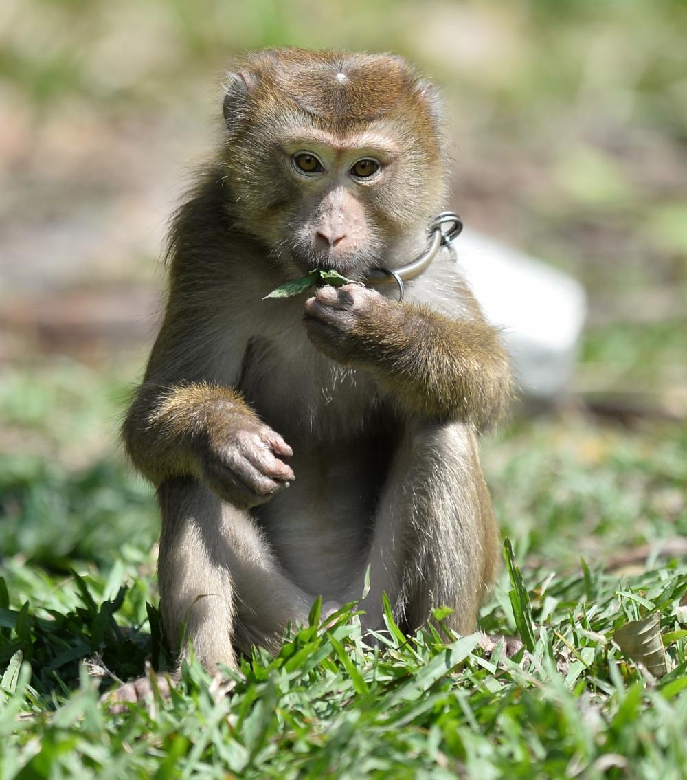 Tayland'ın köle işçi maymunları 12