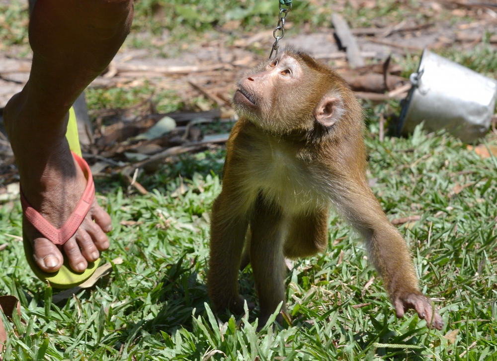 Tayland'ın köle işçi maymunları 2