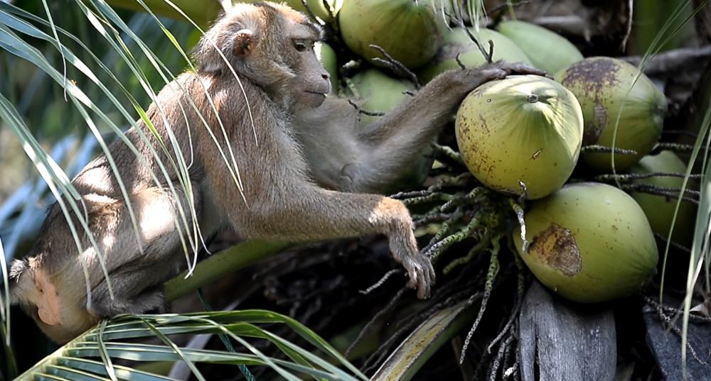Tayland'ın köle işçi maymunları 4