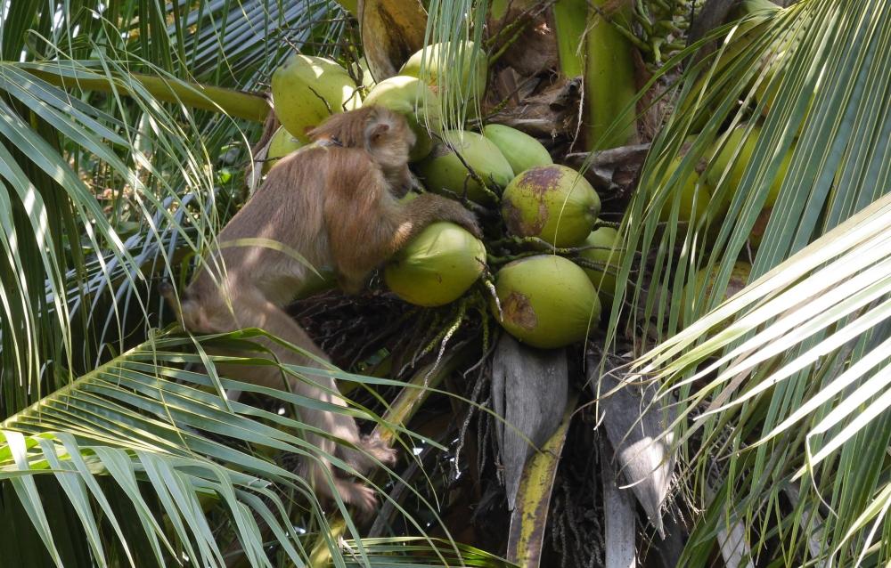 Tayland'ın köle işçi maymunları 5