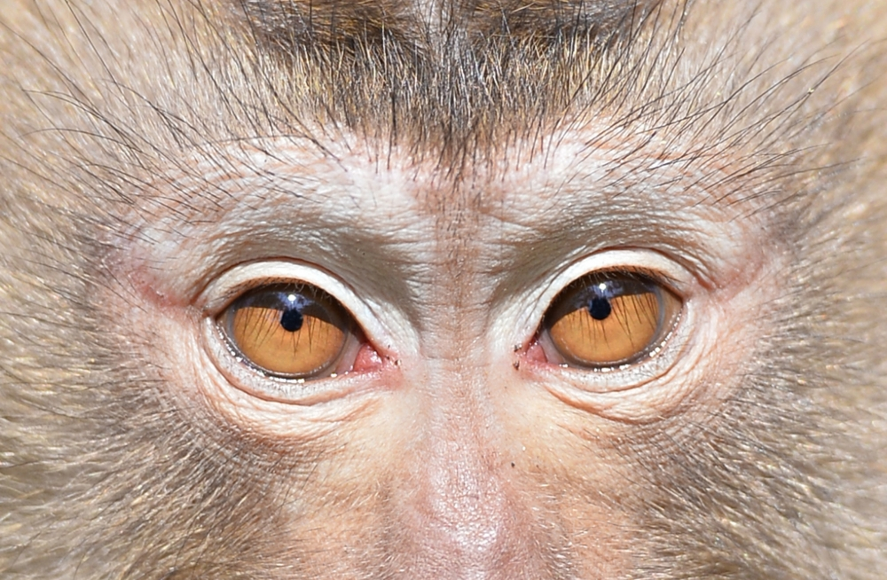 Tayland'ın köle işçi maymunları 9