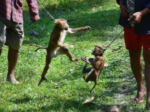 Tayland'ın köle işçi maymunları
