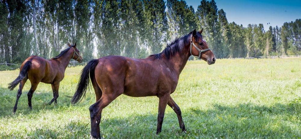 Ereğli'nin ayrık otu, yarış atlarını koşturuyor 2