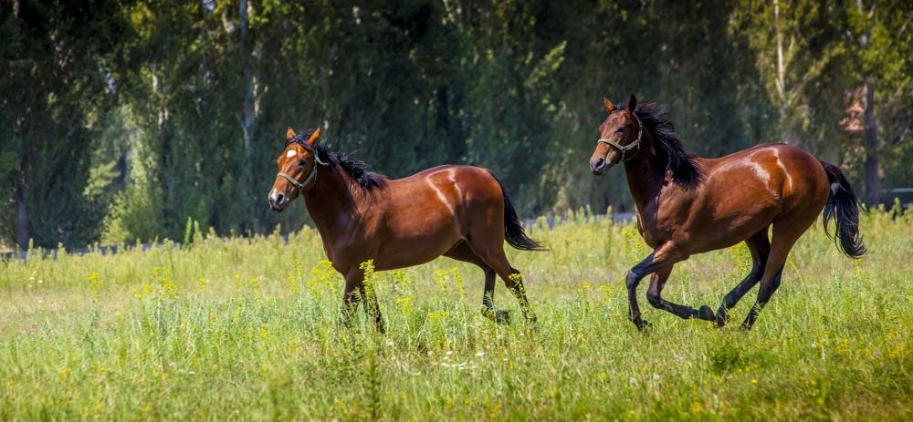 Ereğli'nin ayrık otu, yarış atlarını koşturuyor 7