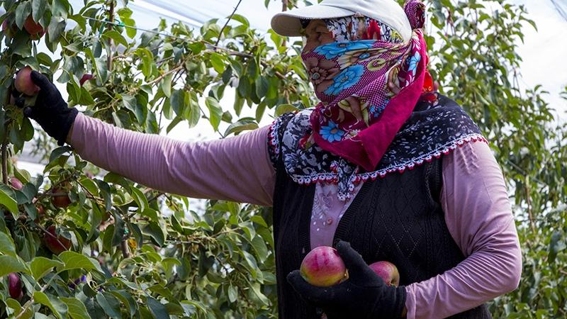 Bu elma bahçesi 700 futbol sahası büyüklüğünde 10