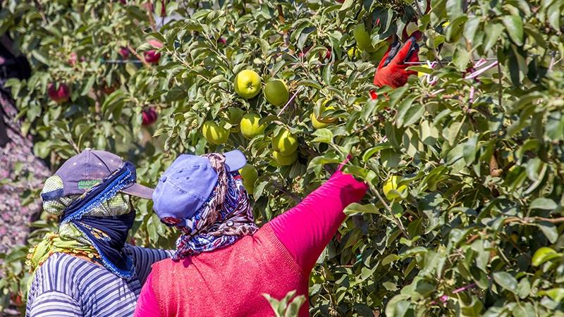 Bu elma bahçesi 700 futbol sahası büyüklüğünde 11