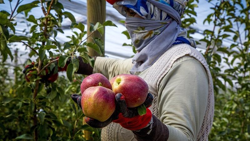 Bu elma bahçesi 700 futbol sahası büyüklüğünde 12
