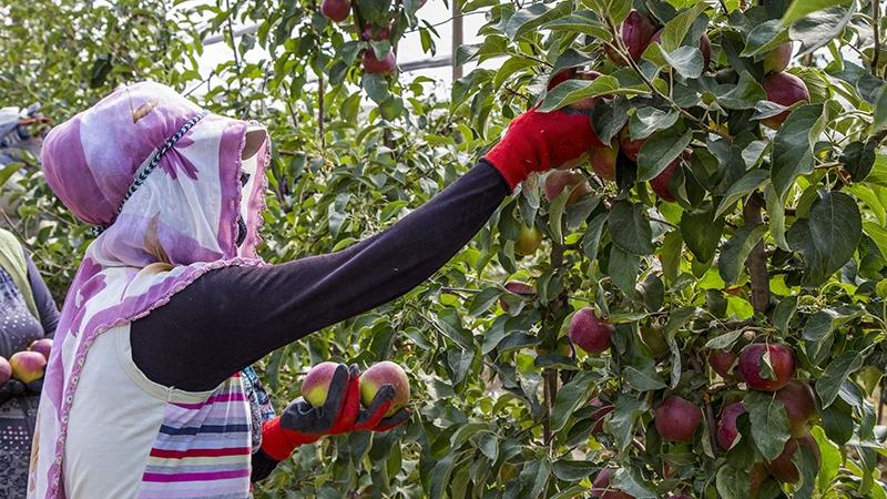 Bu elma bahçesi 700 futbol sahası büyüklüğünde 17