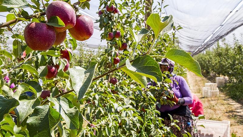 Bu elma bahçesi 700 futbol sahası büyüklüğünde 4