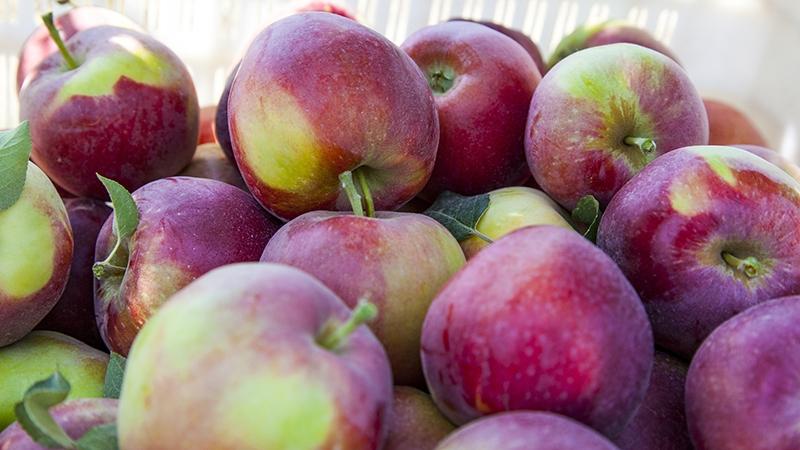 Bu elma bahçesi 700 futbol sahası büyüklüğünde 5