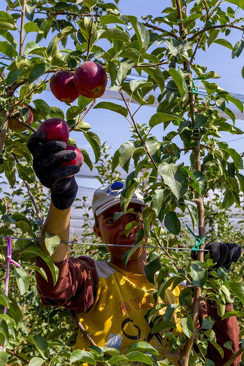 Bu elma bahçesi 700 futbol sahası büyüklüğünde 9