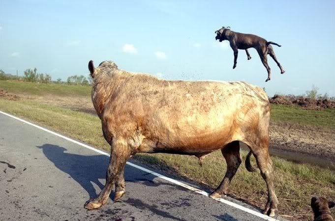 İki pitbull cinsi köpek bir boğaya saldırırsa ne olur? 1