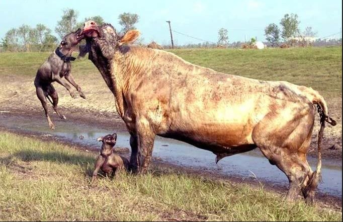 İki pitbull cinsi köpek bir boğaya saldırırsa ne olur? 2