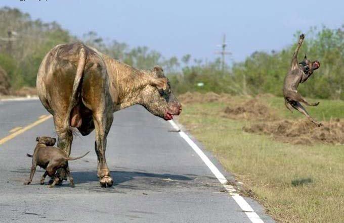 İki pitbull cinsi köpek bir boğaya saldırırsa ne olur? 3