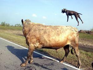 İki pitbull cinsi köpek bir boğaya saldırırsa ne olur?
