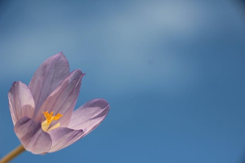 Kar çiçekleri yaylalarda güzel görüntüler oluşturdu 1