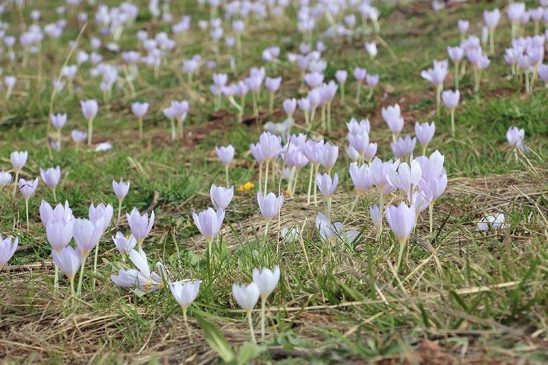 Kar çiçekleri yaylalarda güzel görüntüler oluşturdu 10