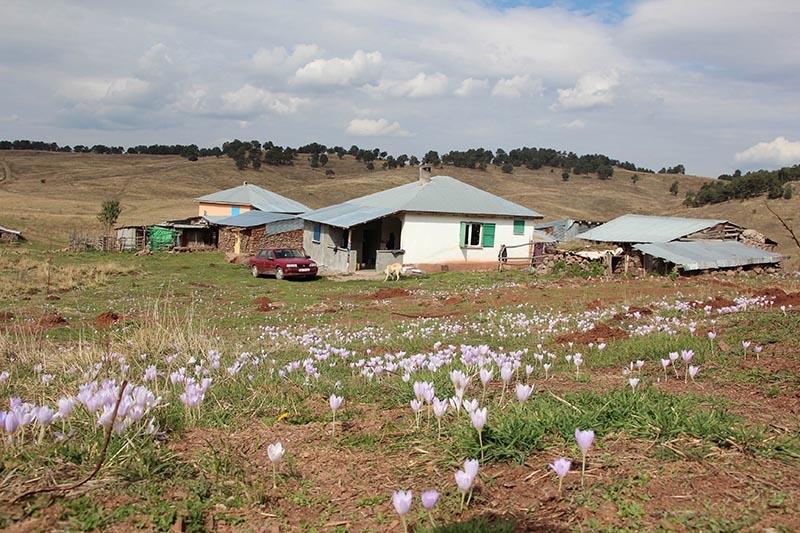 Kar çiçekleri yaylalarda güzel görüntüler oluşturdu 12