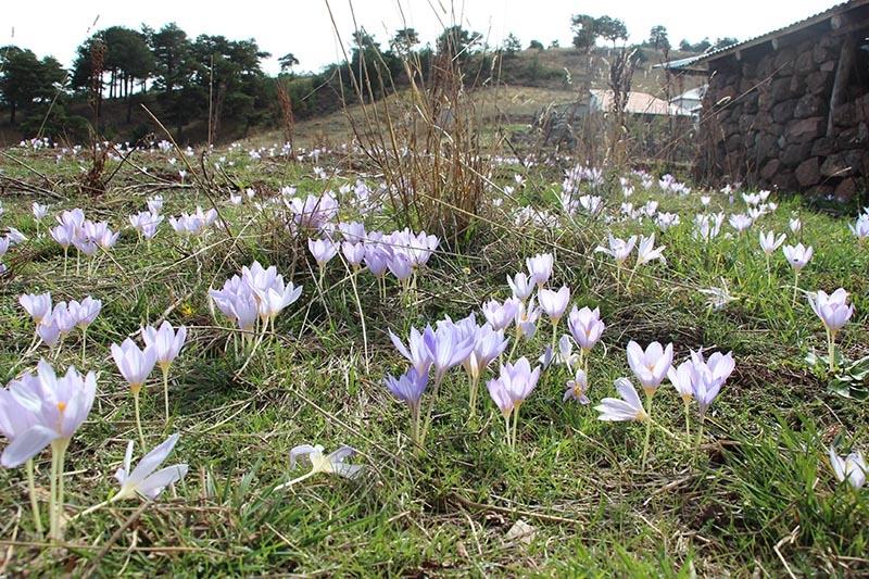 Kar çiçekleri yaylalarda güzel görüntüler oluşturdu 14