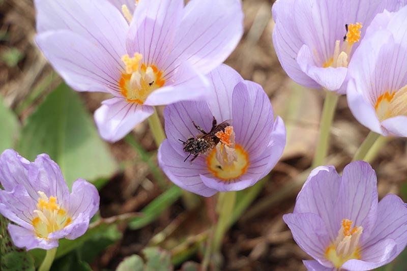 Kar çiçekleri yaylalarda güzel görüntüler oluşturdu 2