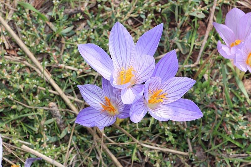 Kar çiçekleri yaylalarda güzel görüntüler oluşturdu 5