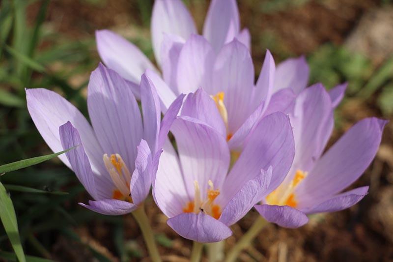 Kar çiçekleri yaylalarda güzel görüntüler oluşturdu 6