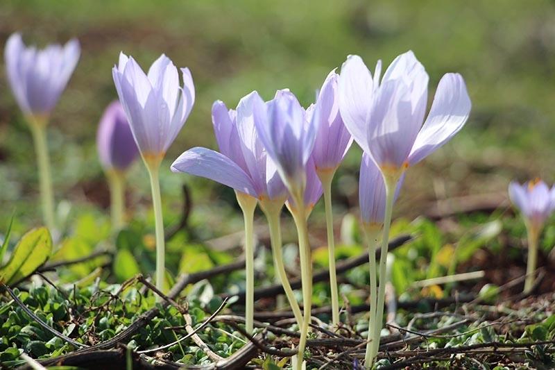 Kar çiçekleri yaylalarda güzel görüntüler oluşturdu 7