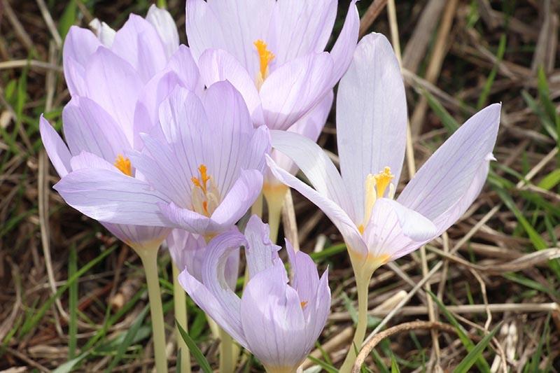 Kar çiçekleri yaylalarda güzel görüntüler oluşturdu 8