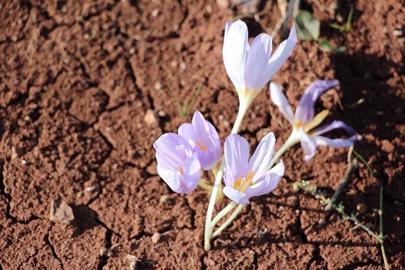 Kar çiçekleri yaylalarda güzel görüntüler oluşturdu 9