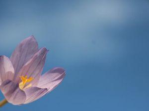Kar çiçekleri yaylalarda güzel görüntüler oluşturdu