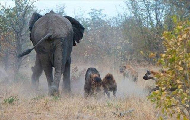 Vahşi doğadaki savaş 14