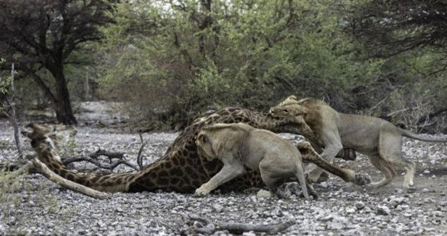 Vahşi doğadaki savaş 45