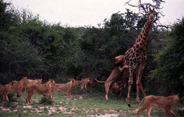Vahşi doğadaki savaş 46