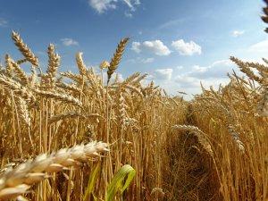 Türkiye buğdayda kırmızıçizgiye yaklaştı!