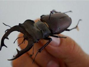 Dünyanın en uzun böceği Çin'de
