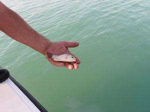 Küçük balıkları yemeyin