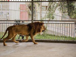 İsrail ablukasının kurbanı olan hayvanlar